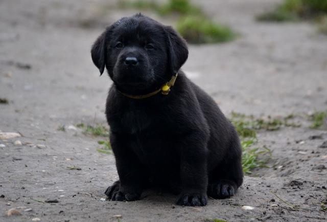 Labrador noir.