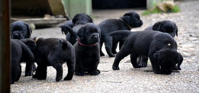 Labrador Retriever à 5 semaines.