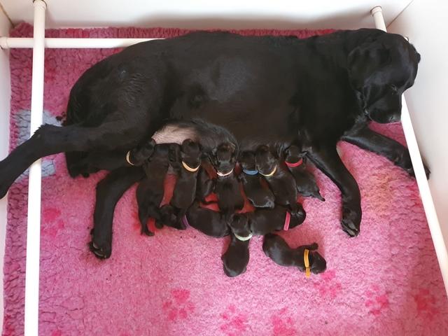 Naissance chiots Labrador