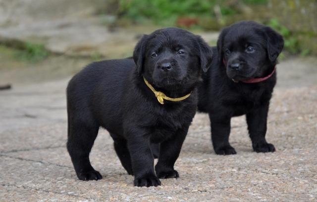 Chiot mâle et femelle noirs.