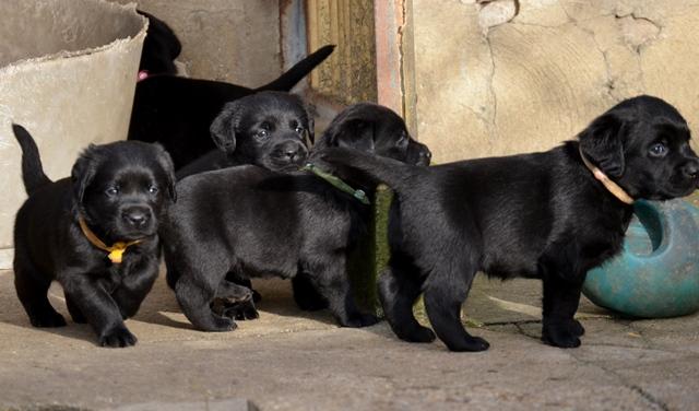 Chiots Labrador 4 semaines.