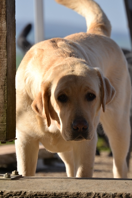 Labrador sable - Yellow