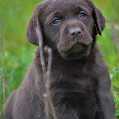 Chiot femelle chocolat Labrador Retriever