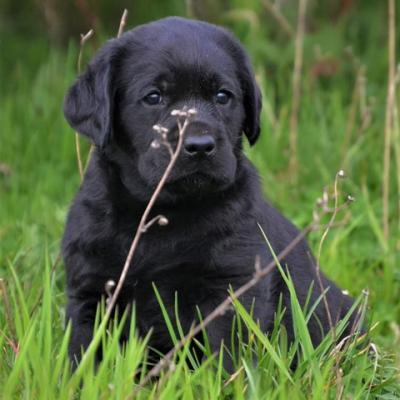 Chiot mâle noir Labrador Retriever