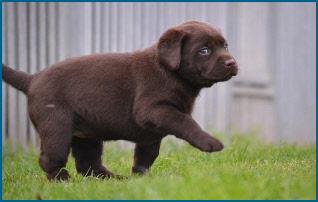 Chiot Labrador Retriever chocolat - Lou