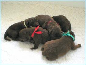 Portée de Labrador Retriever chocolat