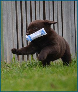 Chiot Labrador Retriever femelle chocolat