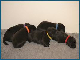 Portée de Labrador Retriever noir